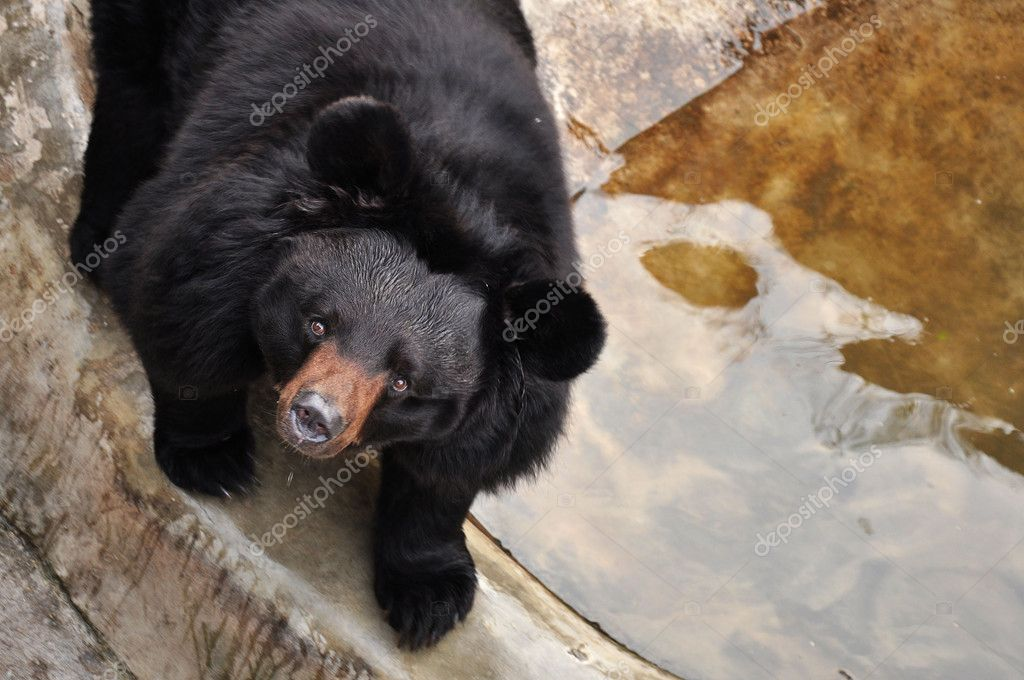 Large black bear in the zoo, looking upward. — Stock Photo #2916643