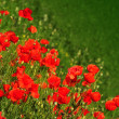 Poppy flowers - Stock Photo