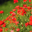 Poppy flowers - Foto de Stock