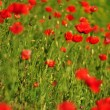 Poppy flowers - Stockfoto