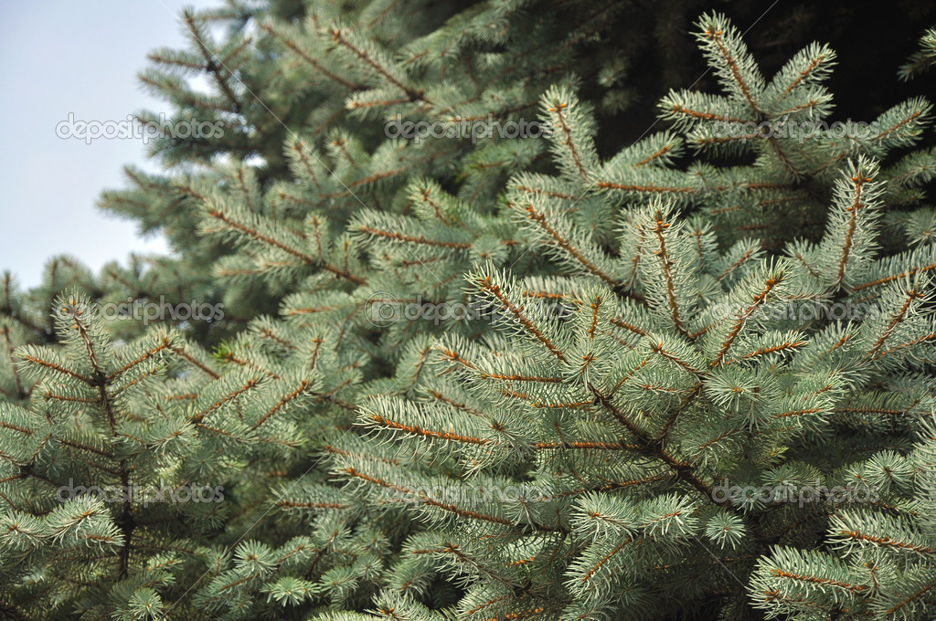 A close-up of an Evergreen tree's branches — Stock Photo #3614659