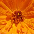 Core calendula — Stock Photo