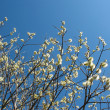 Stock Photo: Blooming goat willow (Salix)