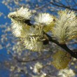 Blooming goat willow (Salix) - Stock Photo