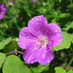 Geranium in drops of rain (Geranium), family Geraniaceae — Stock Photo #3428605