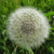 Stock Photo: Dandelion (Taraxacum officinale)