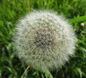 Dandelion (Taraxacum officinale) — Stock Photo