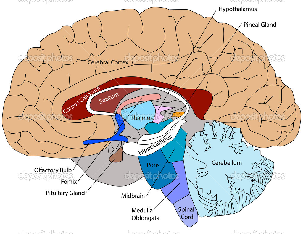 Diagram of the Brain and its Functions  Bodytomy