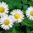 Daisies in the lawn — Stock Photo