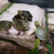 Stock Photo: Terrapins