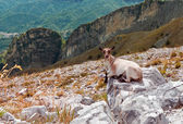 Mountain goat with mountains — Stock Photo