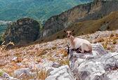 Mountain goat with mountains — Stock Photo