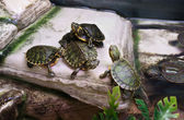 Terrapins — Stock Photo