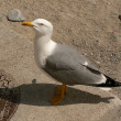 Stock Photo: Gull