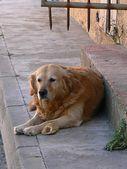 Pes — Stock fotografie