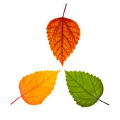 Three different leaves — Stock Photo