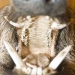 Opened mouth of wild boar — Stock Photo