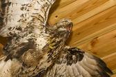 Hawk. Stuffed animal — Stock Photo