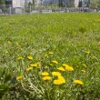 Green grass. Yellow dandelions — Stock Photo