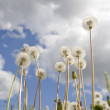 Dandelions on lawn — Stock Photo #3152427