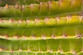 Cactus verde — Foto de Stock