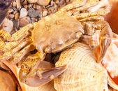 Sea crab on shell — Stock Photo