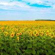 Sunflower field panorama — Stock Photo