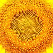 Sunflower head — Stock Photo