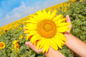 Sunflower in palms — Stock Photo
