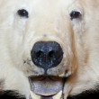Bear open mouth — Stock Photo