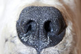 Polar bear nose — Stock Photo