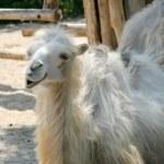 White camel — Stock Photo