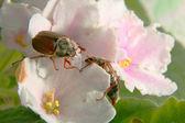 Besouros de maio — Foto Stock
