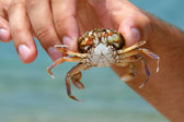 Sea crab in hand — Stock Photo