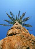 Giant palm — Stock Photo