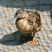 古玩鸭 — 图库照片