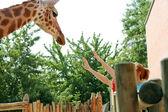 Giraffe in zoo — Stock Photo