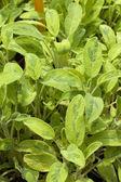 Salvia officinalis L. jecterina — Stock Photo