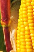 Fine grain yellow corn — Stock Photo