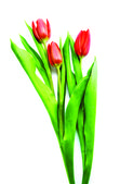 Three red tulip — Stock Photo