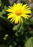 Yellow camomile — Stock Photo