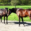 Pair of horses - Stock Photo