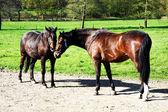Pair of horses — Stock Photo