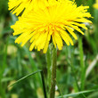 Two yellow dandelions — Stock Photo #3302960