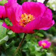 Stock Photo: Dogrose flower