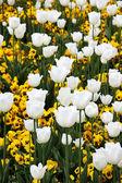 White tulips — Стоковое фото