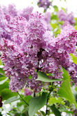 Lilac — Stock fotografie