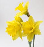 Golden daffodil — Stock Photo
