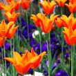 Orange tulips — Stock Photo #3478760