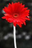 Red gerbera flower. — Stock Photo